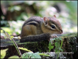 Chipmunks love to chatter.