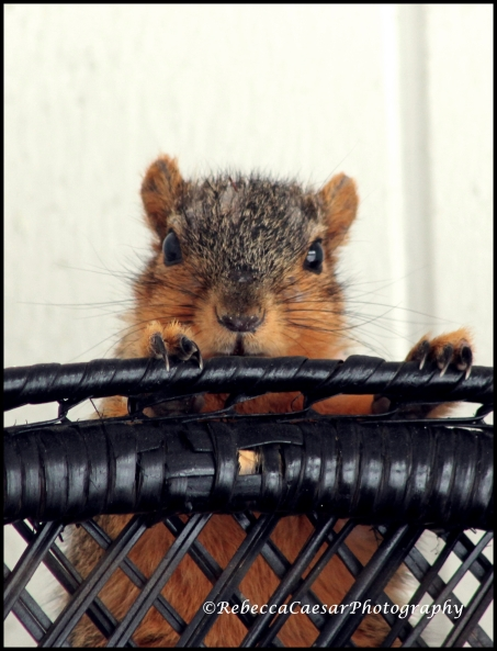 This squirrel was on my front porch. He is actually hiding behind my wicker chair while my dog (behind the sliding door) barks.