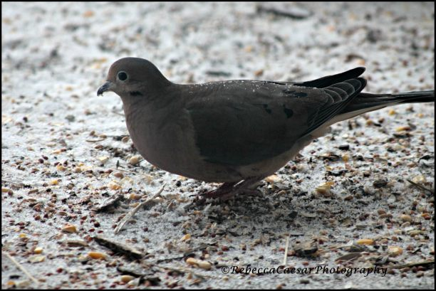 Mourning Dove on Porch