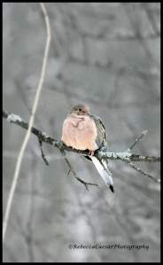 Another Dove waiting patiently for the seeds.