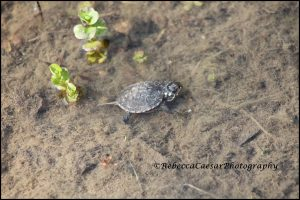 The little turtle swimming away from me.