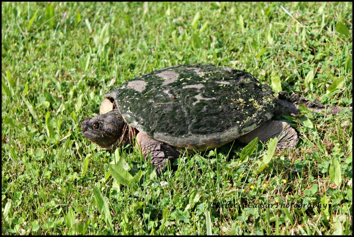 She is headed across my yard back down to the water. What a beautiful creature!