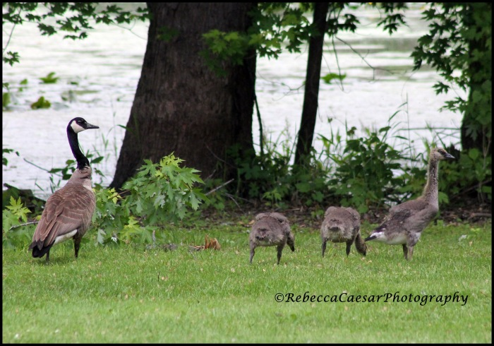 The little ones are getting bigger. I love watching them follow their parents around. It's so cute.