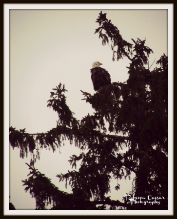 This beautiful Eagle was in my neighbors tree. I am so happy everyone in my neighborhood does not think anything of me standing in the road while I take pictures of animals around their property.