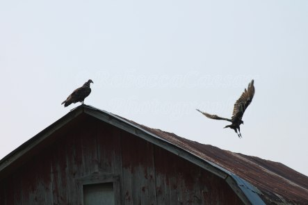I love how they perch themselves on top of my old barn.