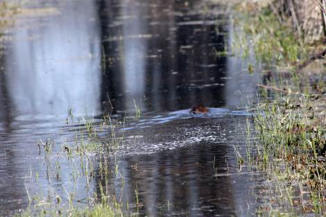 A little muskrat swimming down the back path, I usually walk to the back bridge.