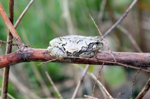 This little frog was attempting to get warm by sunning himself on a branch.