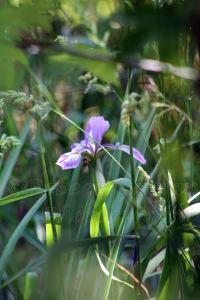Wild Iris Blooms