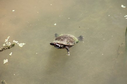 Little turtle floating along the river's edge.